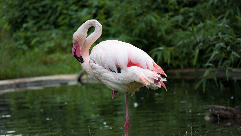 Die Erklärung, warum Flamingos auf einem Bein stehen